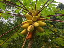 Frutos da papaia em uma árvore do papya Imagens de Stock