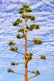 Frutos da planta da agave em nebuloso um céu Planta de século, Maguey, ou agave americana americana do aloés, Califórnia foto de stock royalty free