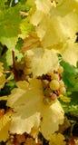 Frutos da uva no campo Fotografia de Stock