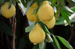 Frutos de árvore do limão fotografia de stock