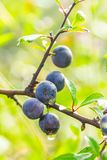 Frutos de árvore selvagens Imagens de Stock Royalty Free