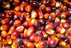 Frutos de óleo da palma fotografia de stock royalty free