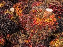 Frutos de óleo maduros da palma foto de stock