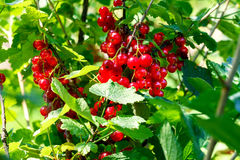 Frutos de corintos vermelhos Foto de Stock