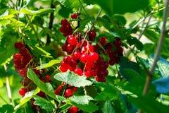Frutos de corintos vermelhos Imagem de Stock Royalty Free