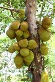 Frutos de Jack Fotografia de Stock