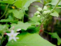 Frutos de Pea Eggplant foto de stock royalty free
