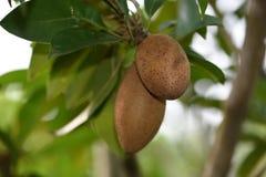 Frutos de Sapoto imagens de stock royalty free