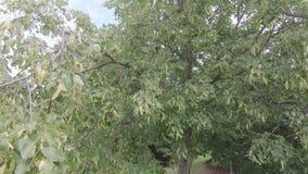 Frutos de um Linden maduro vídeos de arquivo