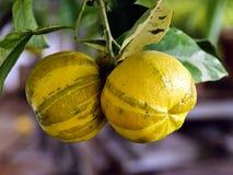 Frutos de uma laranja amarga Fotos de Stock Royalty Free