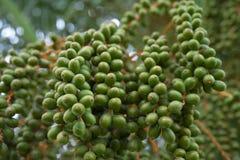 Frutos de uma palmeira da data no verão ensolarado imagem de stock