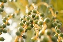 Frutos de uma palmeira da data no ver?o ensolarado foto de stock royalty free