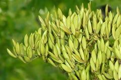 Frutos do cravo-da-índia Fotografia de Stock Royalty Free