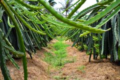 Frutos do dragão em uma fileira em Vietname imagens de stock