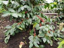 Frutos do engodo de Arbol de café fotografia de stock