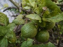 Frutos do limão imagens de stock royalty free