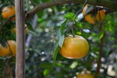 Frutos do mandarino Fotos de Stock Royalty Free