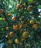 Frutos do mandarino Foto de Stock Royalty Free