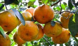 Frutos do mandarino Imagens de Stock