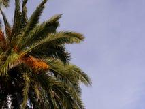 Frutos do rolamento da palmeira com céu violeta fotos de stock royalty free