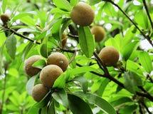 Frutos do Sapodilla fotografia de stock