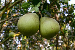 Frutos dos máximos do citrino na árvore fotografia de stock