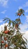 Frutos dos pêssegos imagens de stock royalty free