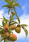 Frutos dos pêssegos fotografia de stock