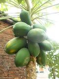 Frutos e árvore da papaia Imagens de Stock