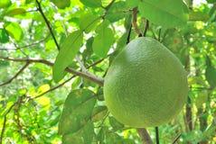 Frutos em Ásia Fotografia de Stock