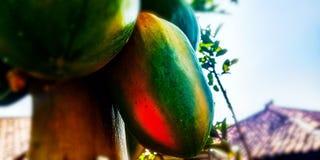 Frutos maduros da papaia fotos de stock
