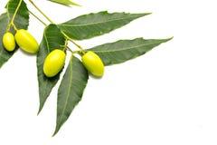 Frutos medicinais do neem Foto de Stock Royalty Free