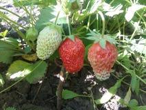 Frutos, morango, alimento, maduro, baga, vermelho, folha, cores, frescor, verde, colheita, orgânica, verão, close up, natureza, j Fotos de Stock