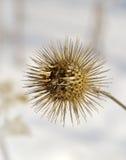 Frutos secos del Burdock Imagen de archivo libre de regalías