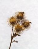 Frutos secos del Burdock Imagen de archivo