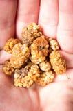Frutos secos en una palma Fotos de archivo libres de regalías
