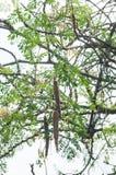 Frutos vegetais longos secos de moringa do pilão que penduram de um ramo de árvore indiano imagem de stock royalty free