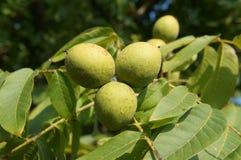Frutos verdes da noz inglesa três em uma árvore do ramo Imagem de Stock