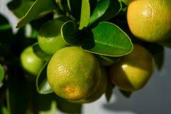 Frutos verdes de Calamondin do citrino imagens de stock
