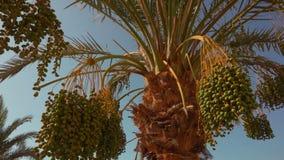 Frutos verdes de uma palma de data vídeos de arquivo