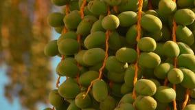 Frutos verdes de uma palma de data filme