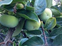 Frutos verdes do caqui na árvore Fotografia de Stock Royalty Free