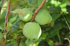 Frutos verdes do marmelo japonês nos ramos imagens de stock royalty free
