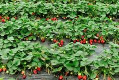 Frutos vermelhos da morango foto de stock