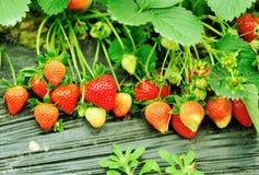 Frutos vermelhos da morango imagens de stock royalty free
