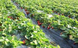Frutos vermelhos da morango fotos de stock