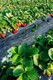 Frutos vermelhos da morango imagens de stock