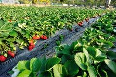 Frutos vermelhos da morango fotos de stock royalty free