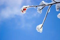 Frutos vermelhos pequenos na árvore no gelo e na neve Foto de Stock Royalty Free