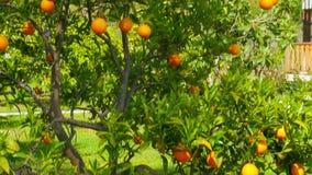 frutta arancio al ramo dell'albero, stagione primaverile, giorno soleggiato video d archivio